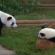 أطلس الحيوان   الباندا